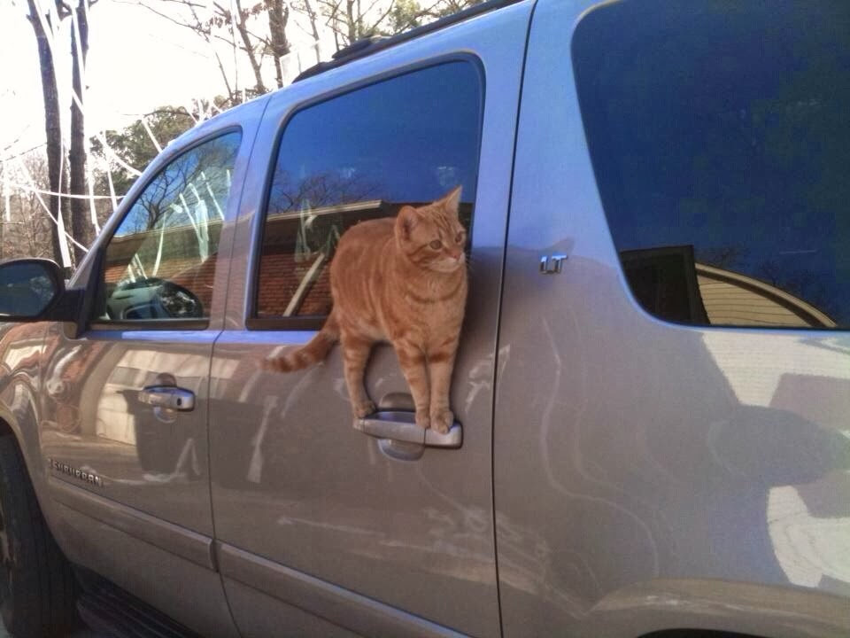Funny cats - part 93 (40 pics + 10 gifs), cat stands on car door handle