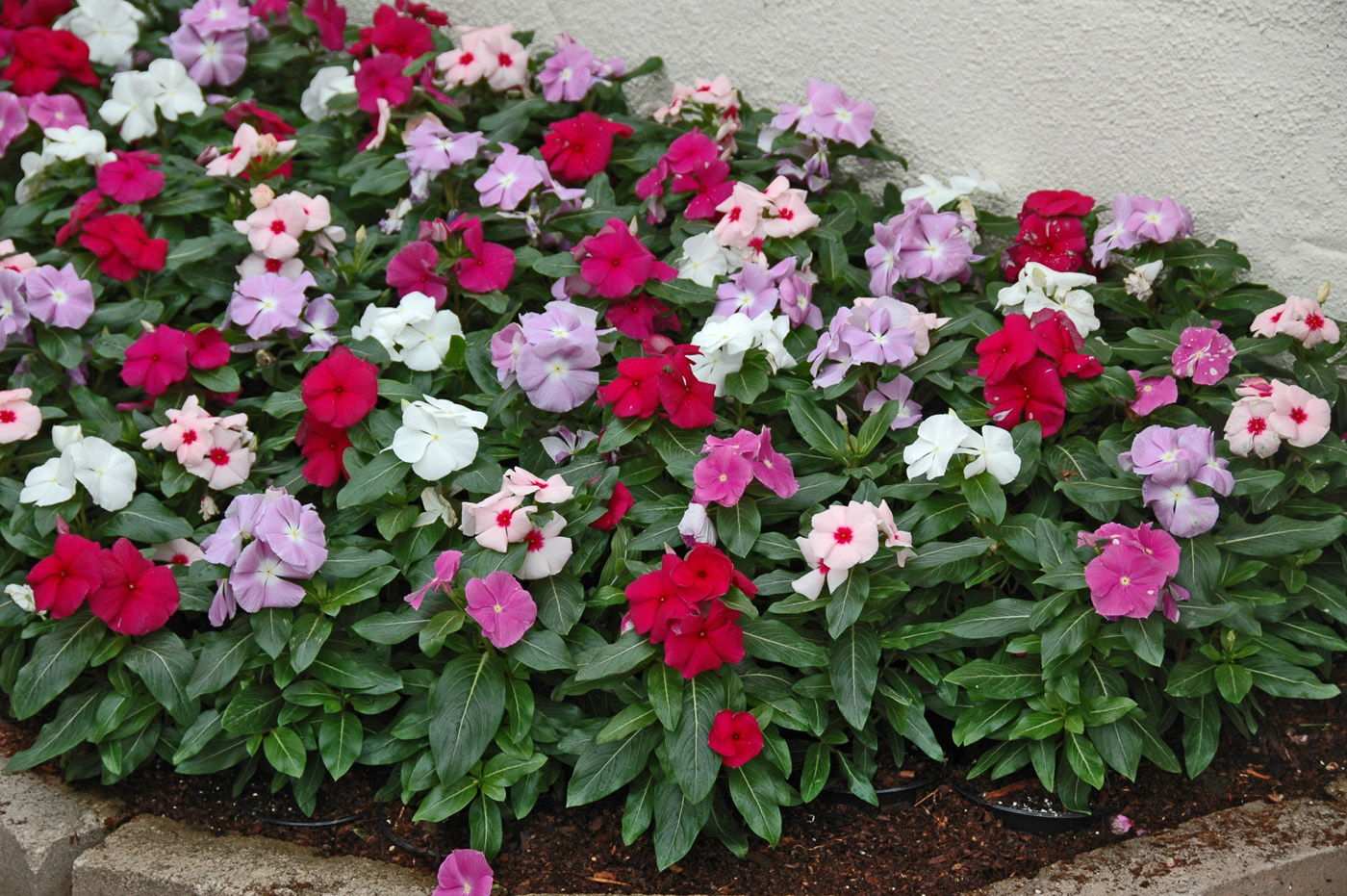 vinca plants Landscape with myrtle, also known as vinca or periwinkle see how to plant this ground cover from the old farmer's almanac.