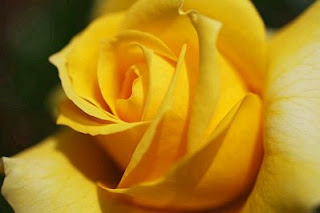Fotos de Rosas Amarillas, parte 5