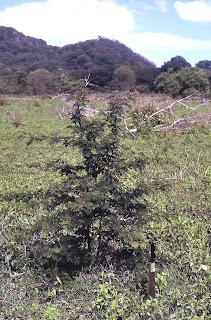 ant acacia