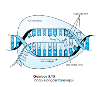 elongasi dan transkripsi