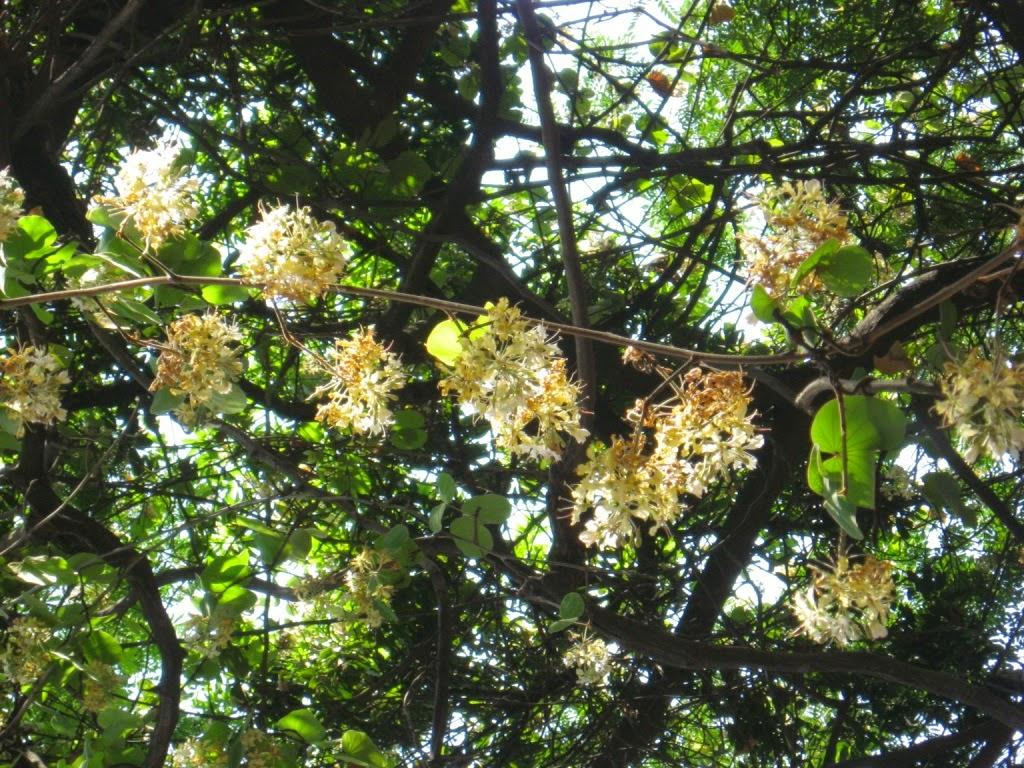 Pune, garden, bauhinia vahlii