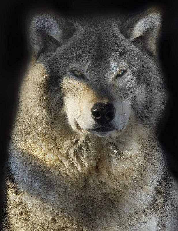 "Responses to ""Judge Okays Wolf Hunting with Dogs in Wisconsin"""