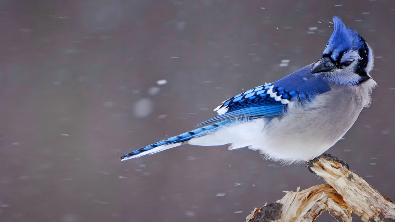 Blue jay (© Christophe Sidamon-Pesson/Minden Pictures) 328