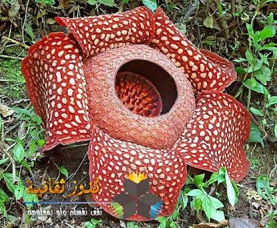 رافليسيا ارنولدي - Rafflesia arnoldii