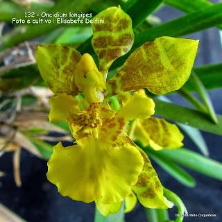 Oncidium longipes, Gomesa longipes, Oncidium janeirense