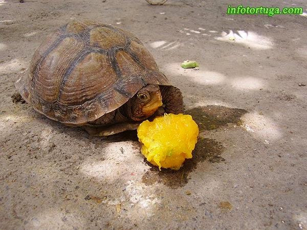 Terrapene carolina mexicana - Mexican box turtle