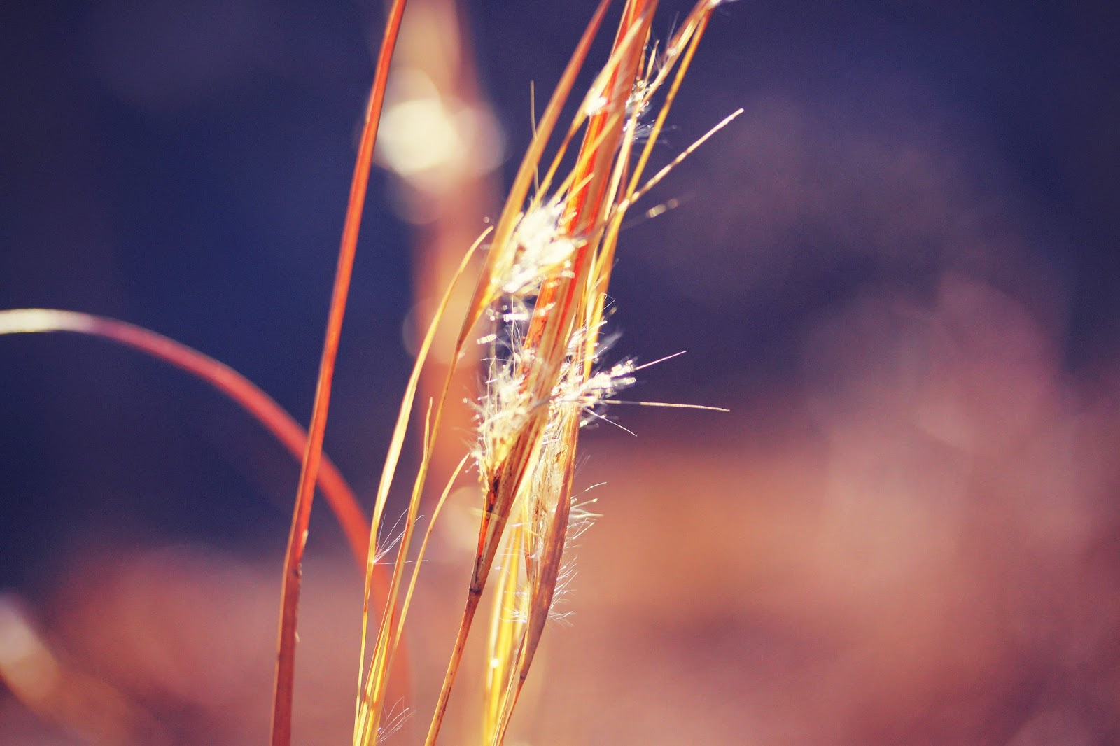bokeh, spring, fluff, nature, tall grass