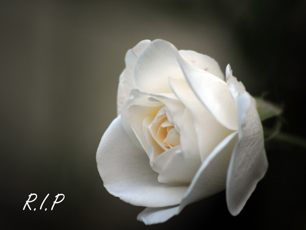white rose essay 2012 Free essays on white about a time you were courageous get help with your writing 1 through 30.