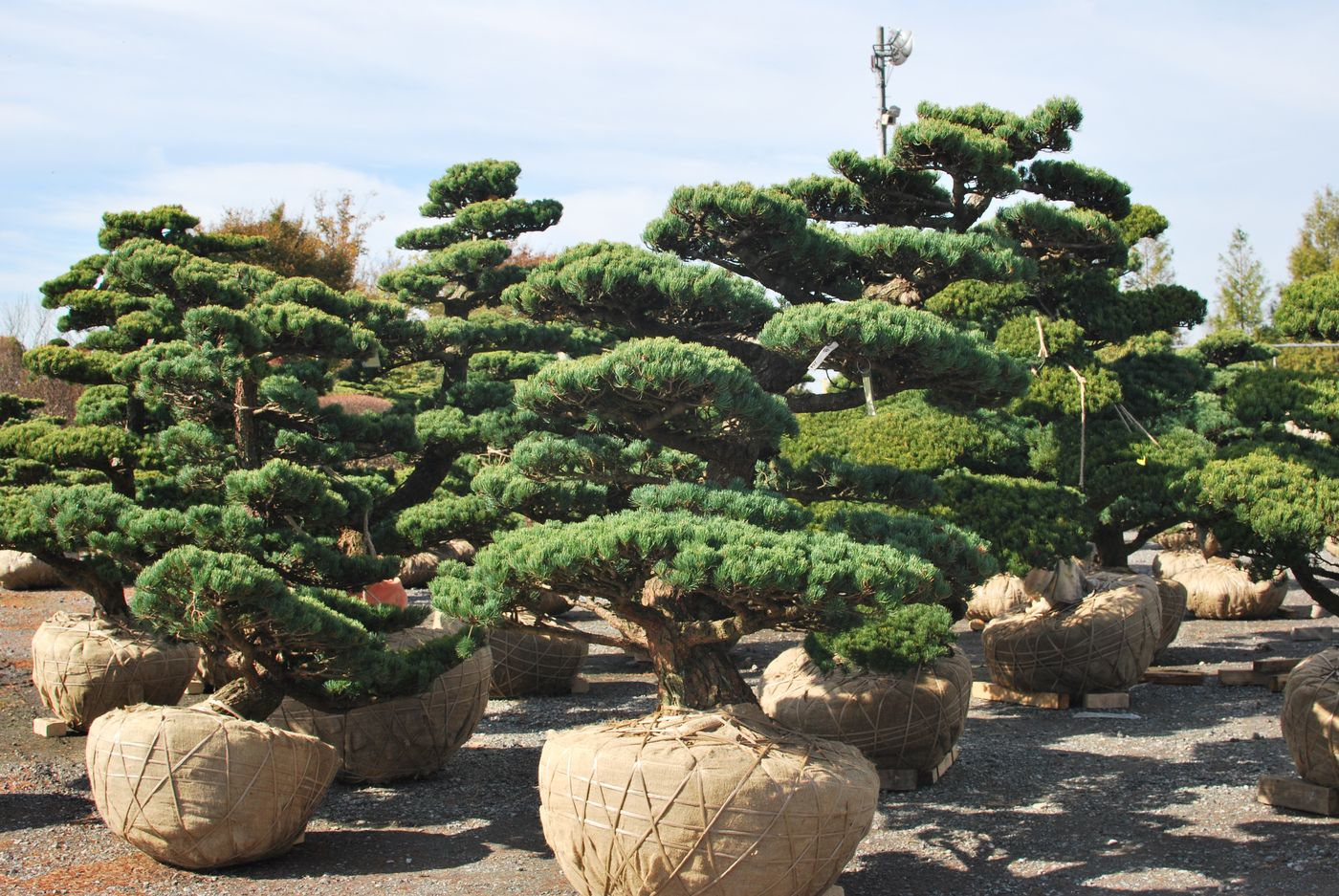 Bonsai Moravia Blog JAPAN 2015 02 BONSAI MARKET AT CHIBA