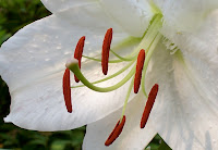 Close view of white lily 'Casa Blanca'