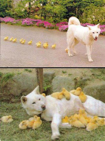 White dog taking care of little ducklings