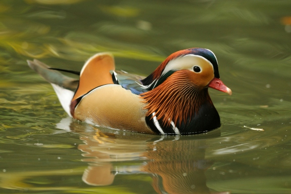 15 cutest endangered animals in the world, mandarin duck