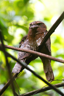 A Pair of Sri Lankan Frogmouths photographed in Sinharaja, Sri Lanka