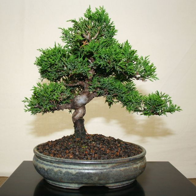 Backyard Bonsai Trees : Outdoor Bonsai Trees
