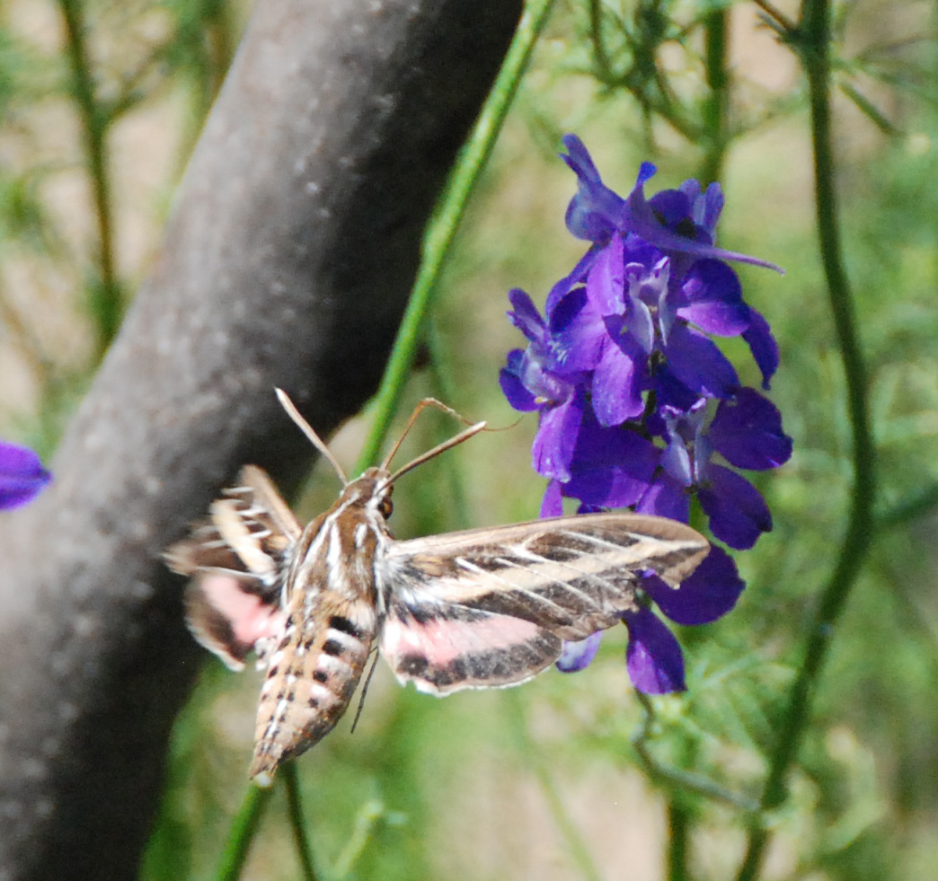 White lined sphinx moth life cycle - photo#21