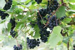 Vindruvstak i växthuset