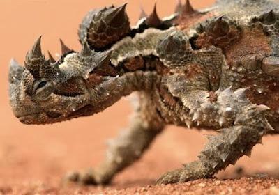 thorny devil Animal Picture