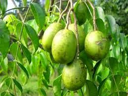 mengenal manfaat dan khasiat buah kedondong