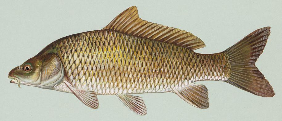 Common carp project linnaeus for What does carp mean