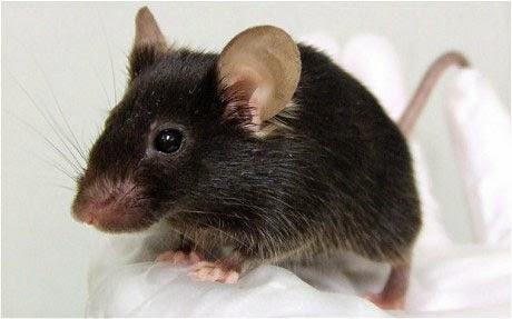 Mengatasi gangguan tikus di rumah tinggal