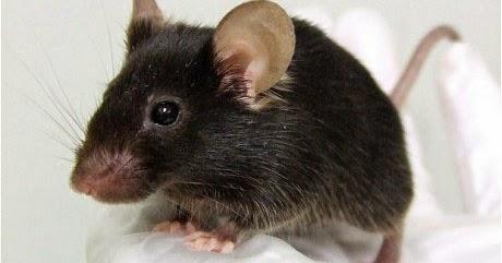 Info Harga TOKO BANGUNAN ONLINE: Mengatasi gangguan tikus di rumah