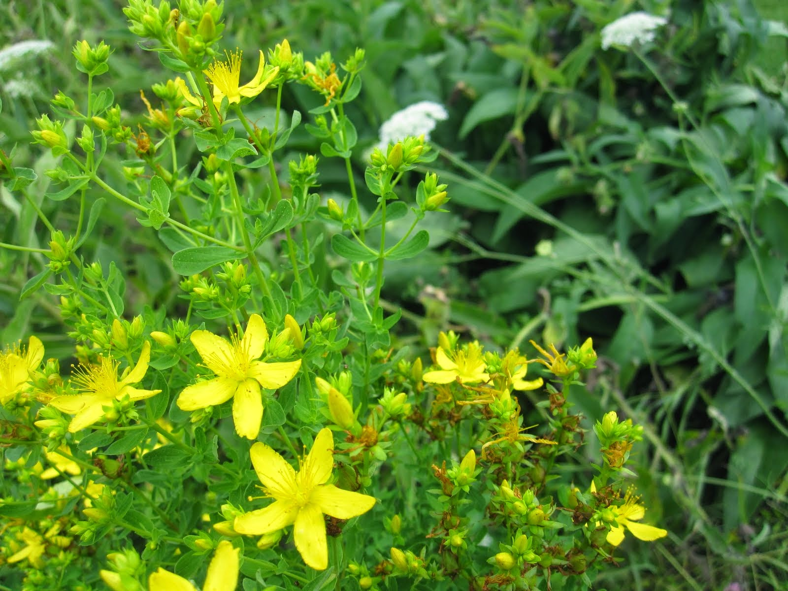 Benefits Of St. John's Wort (Hypericum Perforatum) For Health