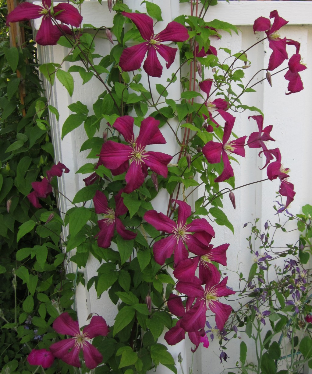 Clematis on pinterest - Clematis viticella ...