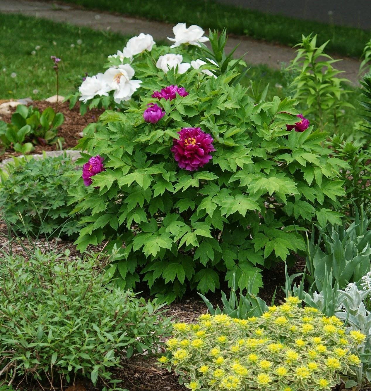 Visit My Garden Peonies