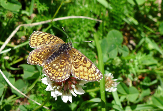 Ängsnätfjäril - Melitaea cinxia