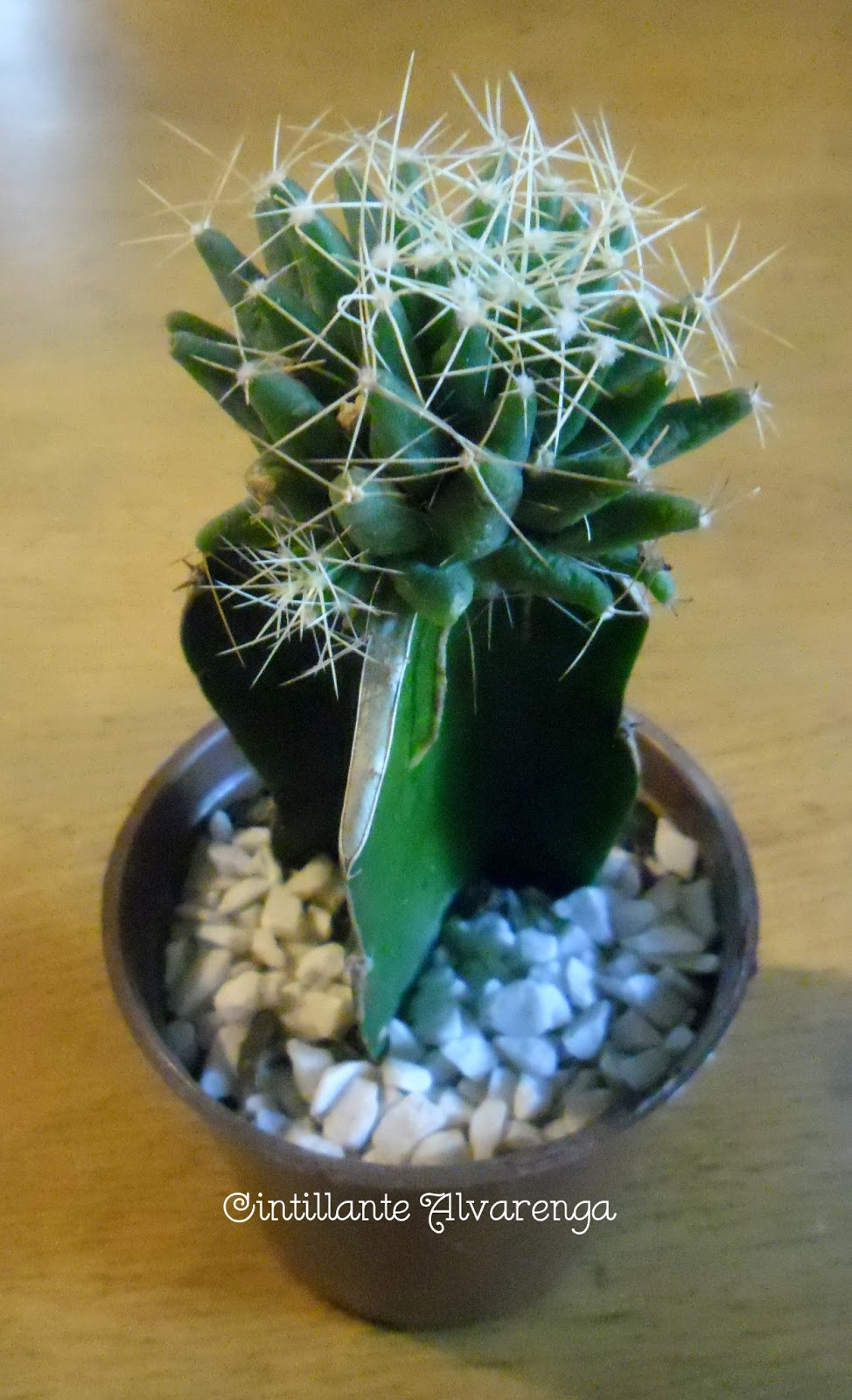 Coleção de cactus