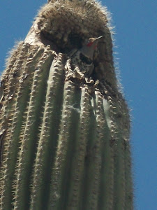 Flicker in Saguaro nest