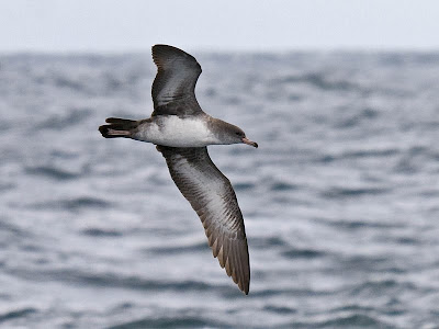 Oregon sea birds: Pink-footed Shearwater