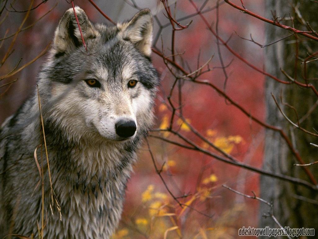 Must see   Wallpaper Horse Wolf - Free-Wolf-Animal-Desktop-Wallpapers-01  Pic_804316.jpg