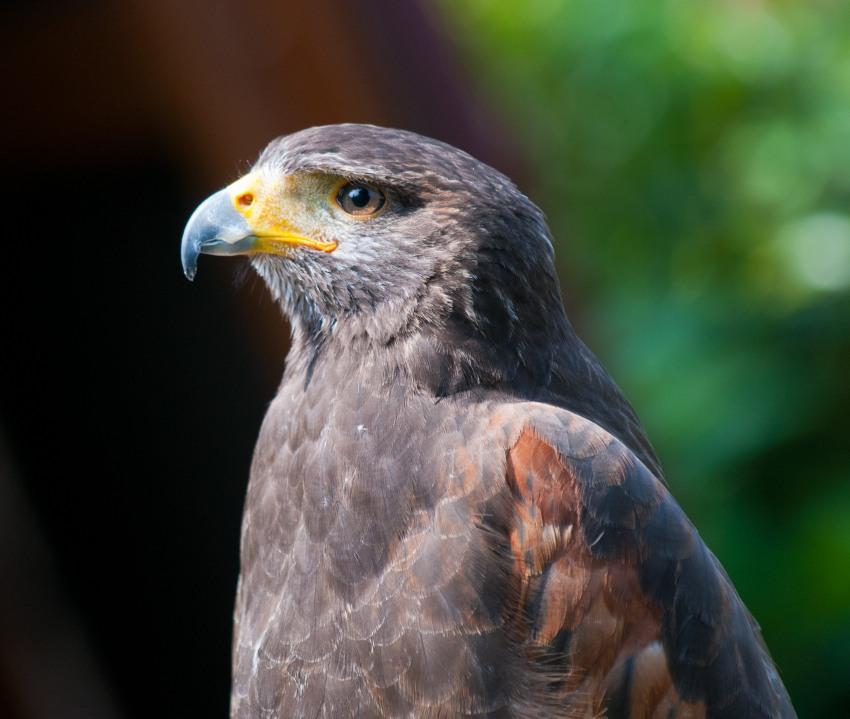 Falken auf der Adlerwarte Berlebeck
