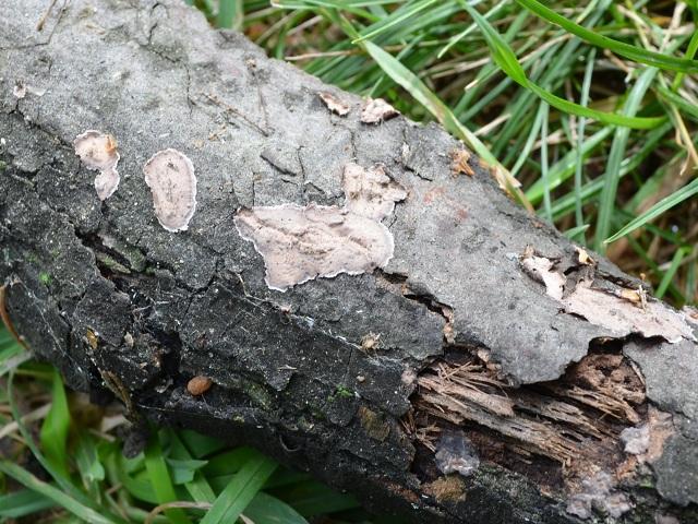Peniophora rufomarginata