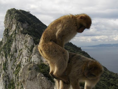 mystery of the monkeys, monkeys on the rock, atlas mountains, north africa