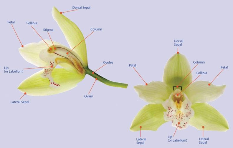 external image orchid+anatomy.jpg