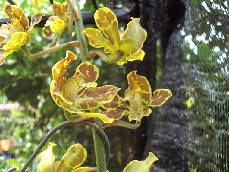 tiger oncidium