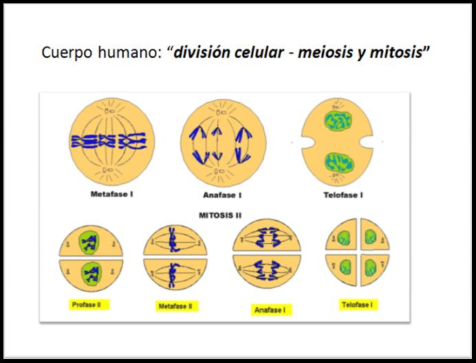 División celular: MEIOSIS y MITOSIS