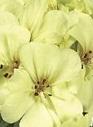 Piccoli frutti piante curiose geranio giallo - Geranio giallo ...