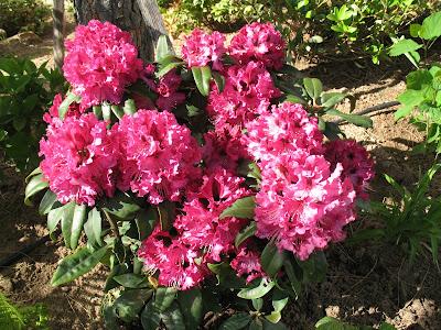 roses du jardin ch neland rhododendron souvenir du congo. Black Bedroom Furniture Sets. Home Design Ideas