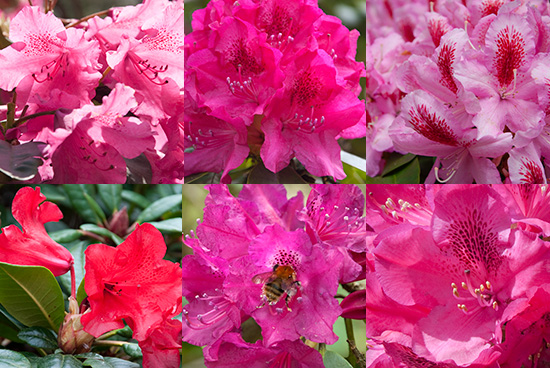 pink and red rhododendron