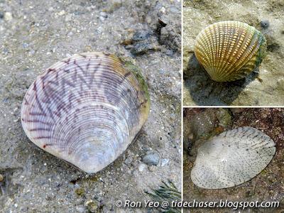 Family Veneridae