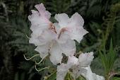Flores (frutillar)