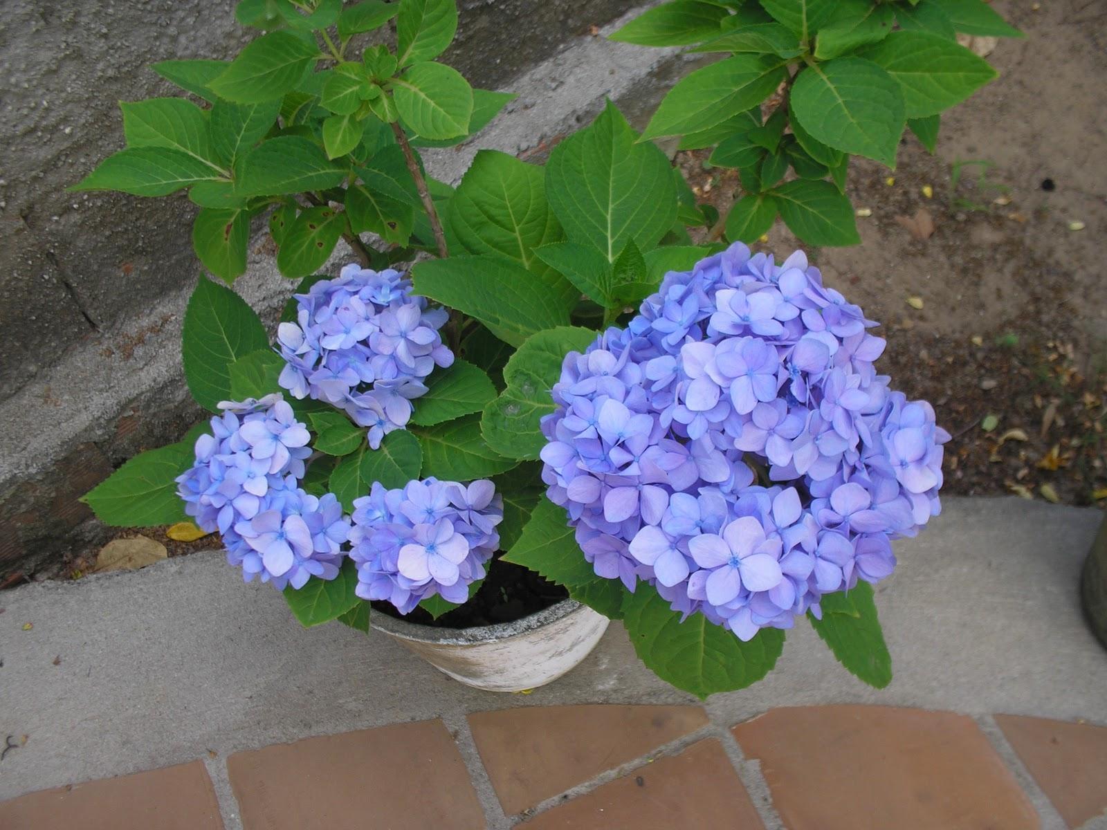 flores para jardim azuis