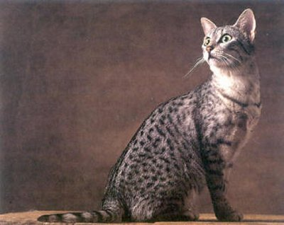 Egyptian Mau Cat Best Tips