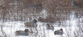 Green Winged Teal-Frodsham Marshes No6 Tank-19th December 2015