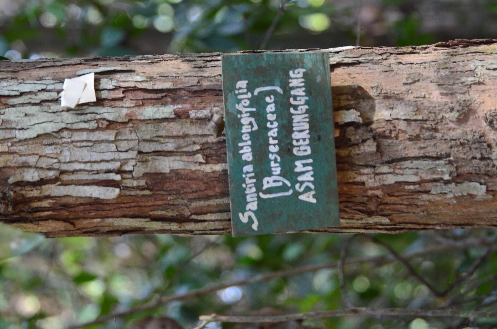 Santiria Oblongifolia
