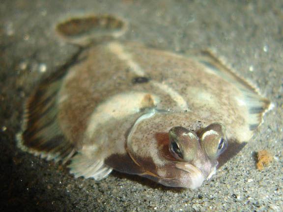 flatfish+2.jpg